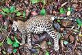 Leopard carcass with severe chest injury found in SGNP