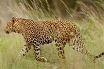 Another leopard spotted in UP, this time in Saharanpur