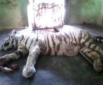 Black cobra's bite kills white tiger at Indore zoo, snake paralysed
