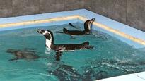 Watch: Mumbai's Byculla Zoo gets 8 Humboldt penguins, first time in the country