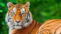 International Tiger Day: 97% of wild tigers lost in the last century