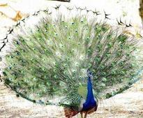 Peacocks are vermins? Goa CM treads cautious path