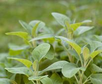 Caring Tips For Sage Plant In Your Garden