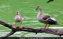 10 Ducks Found Dead In Hauz Khas Deer Park In Delhi